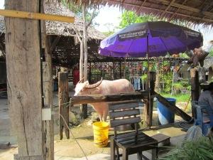 kebo albino sang penunggu Pattaya Floating Market