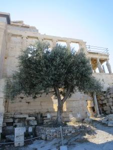 Pohon Zaitun yang ditanam sebagai simbol kemenangan Dewi Athena dalam persaingan dengan Dewa Poseidon