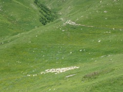 Kumpulan domba